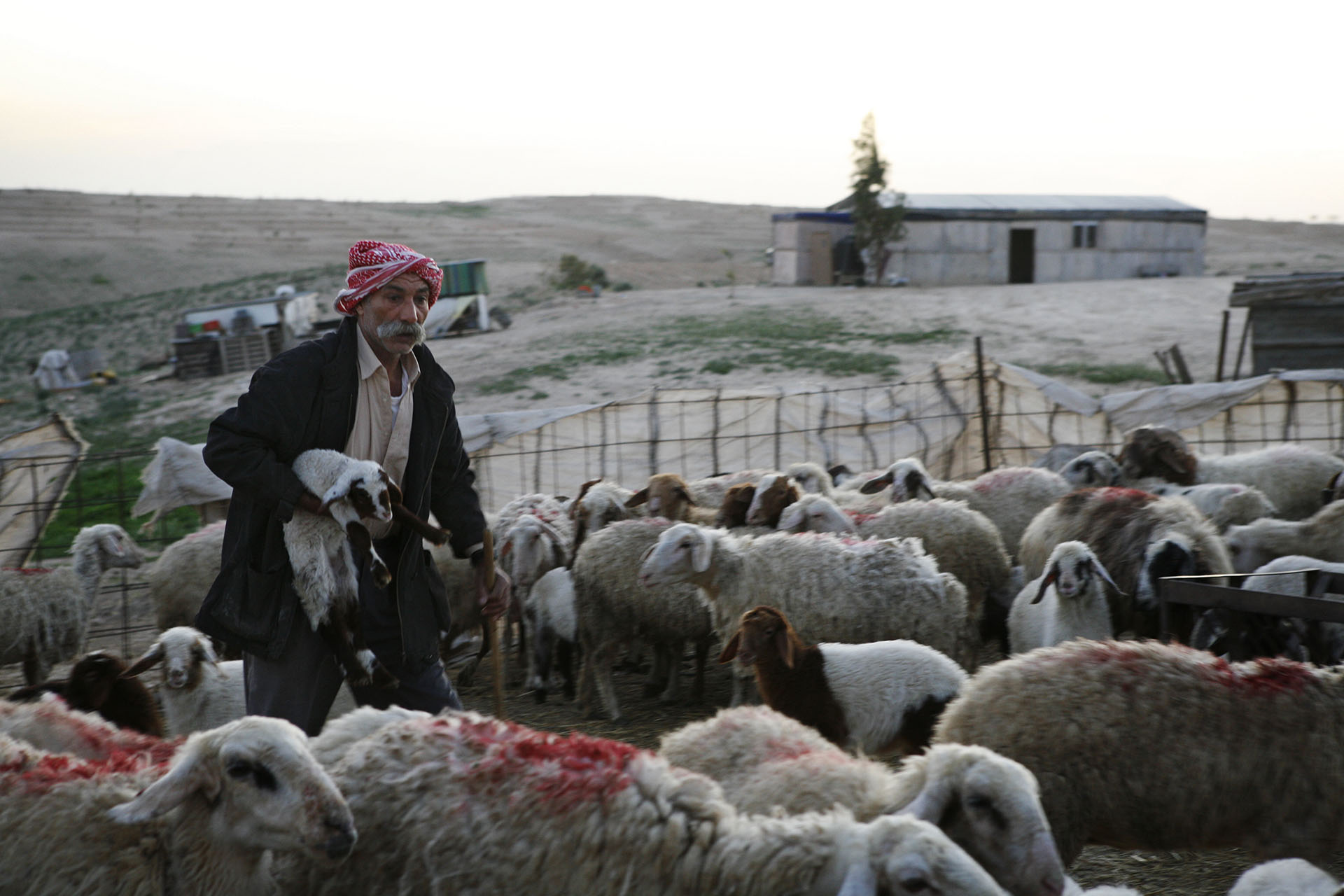 Sheikh Sayah, head of the village of Al Araqib tends to his sheep. Al Araqib, February 2010