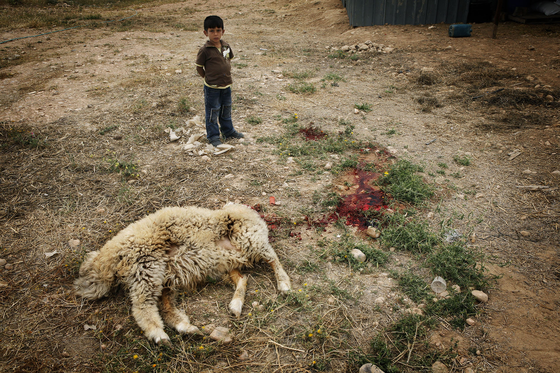 A child stands by the carcass of a freshly slaughtered ship. Al Araqib, April 2009.